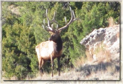 An elk at the Bugle Canyon Ranch in Nebraska