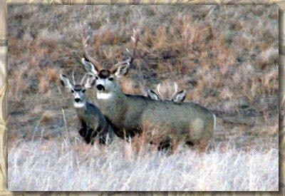 Mule deer at Bugle Canyon Ranch in Western Nebraska